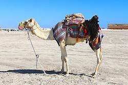 28.01.2015, Doha, QAT, FIFA WM, Katar 2022, Vorberichte, im Bild ein Kamel in der Wüste von Katar // Preview of the FIFA World Cup 2022 in Doha, Qatar on 2015/01/28. EXPA Pictures © 2015, PhotoCredit: EXPA/ Sebastian Pucher