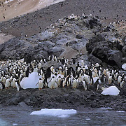 Adelie Penguin, (Pygoscelis adeliae) Rookery off Trinity Peninsula. Antarctica Peninsula.