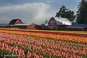 Tulips in Skagit County