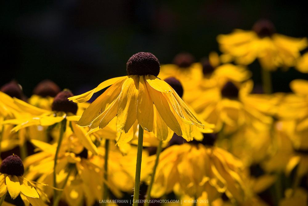 Back-eyed susans ( Rudbeckia) a very popular native perennial.