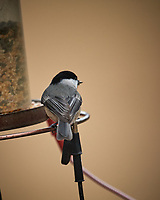 Black-capped Chickadee. Image taken with a Nikon D5 camera and 600 mm f/4 VR lens (ISO 720, 600 mm, f/4, 1/1250 sec).