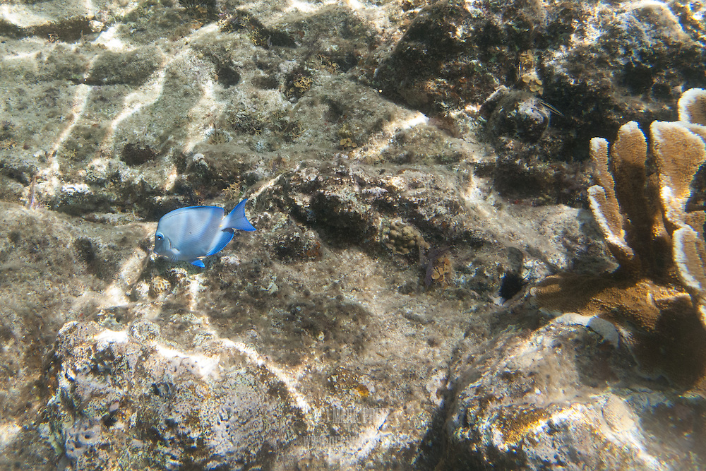 A blue tang and coral in Salt Pond Bay, St John, USVI