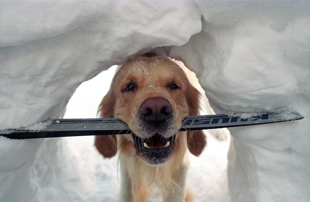 Golden Retriever Lemmy mit einem kaputten Ski im Tiefschnee in der Naehe der Schneekoppe im Riesengebirge der Tschechischen Republik. Der Golden Retriever ist ein intelligenter, freudig arbeitender Hund, dem auch extreme, nasskalte Witterungsbedingungen nichts ausmachen. Dem steht allerdings eine relativ starke Empfindlichkeit hinsichtlich hoher Temperaturen gegen&uuml;ber. Grunds&auml;tzlich ist die Rasse ruhig, geduldig, aufmerksam und niemals aggressiv.<br /> <br /> Golden Retriever Lemmy in deep snow with a broken ski close to the Snieska Peak at the Giant Mountains in Czech Republic.