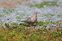Mourning Dove (Zenaida macroura), Cherry Hill, Nova Scotia, Canada