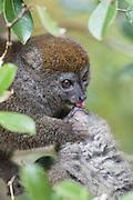 Grey Bamboo Lemur <br /> Hapalemur griseus<br /> Grooming young<br /> Madagascar, Africa
