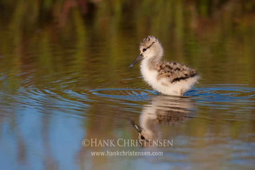 A young american avocet chick wades in shallow water looking for food