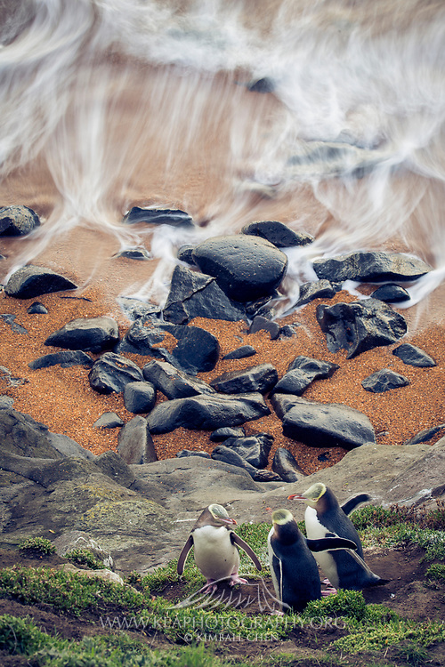 The rush of the ocean collides against the base of the cliff, as a family of endangered yellow-eyed penguins reunite.