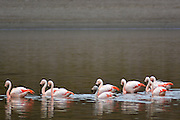 Flamingos on Huayacota lake in Sajama National Park, Bolivia