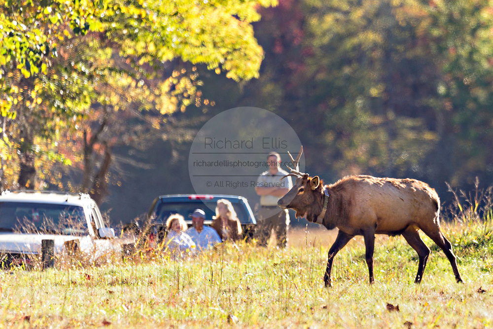 A bull elk walks past people during the fall rut in the Cataloochee Valley of the Great Smoky Mountains National Park in Cataloochee, North Carolina.