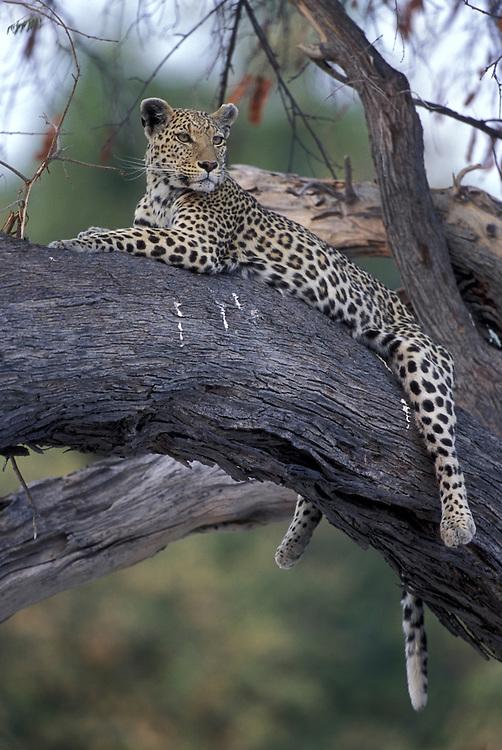 Botswana, Moremi Game Reserve, Adult Female Leopard (Panthera pardus) rests on tree limb near Khwai River