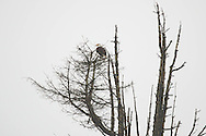 Bald eagle perched high in tree - Skagit Valley, WA