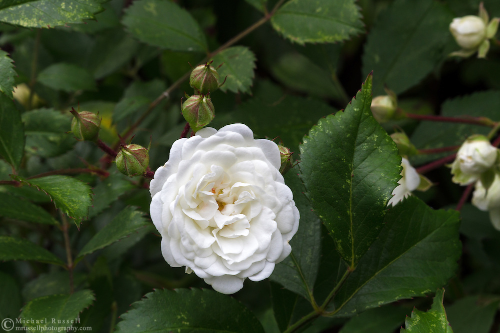Flowers and buds of the shrub rose Alba Meidiland