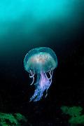 Pelagia noctiluca, jellyfish, Sula Sgeir, Scotland.