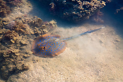 Blue spotted ray (Taeniura lymma) in Wailgwin Lagoon, Camden Sound on the Kimberley coast. The spotted rays frequent the shallows along beaches and in the lagoons, shuffling sand as camouflage when disturbed.
