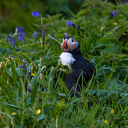 Fradinho (Fratercula arctica) fotografado na Escócia, na Europa. Registro feito em 2019.<br /> ⠀<br /> <br /> <br /> <br /> <br /> <br /> <br /> <br /> ENGLISH: Atlantic puffin photographed in Scotland, in Europe. Picture made in 2019.