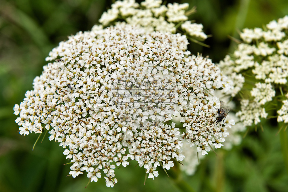 Yarrow wildflowers blooming at the McNeil River State Game Sanctuary on the Kenai Peninsula, Alaska. The remote site is accessed only with a special permit and is the world's largest seasonal population of brown bears in their natural environment.