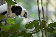 Varecia variegata (Black and White Ruffed Lemurs) spend almost all of their time high up in the canopy feeding on fruit. It's very rarely that the opportunity presents itself to photograph them at eye level