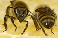 DEU, Deutschland: Biene, Honigbiene (Apis mellifera), zwei Arbeitsbienen auf ihrer Wabe, Bienenstation an der Bayerischen Julius-Maximilians-Universität Würzburg | DEU, Germany: Bee, Honey-bee (Apis mellifera), two worker bees on a honeycomb, Beestation at the Bavarian Julius-Maximilians-University Würzburg