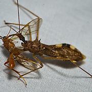 Assasin Bug, Reduviidae, Taiwan