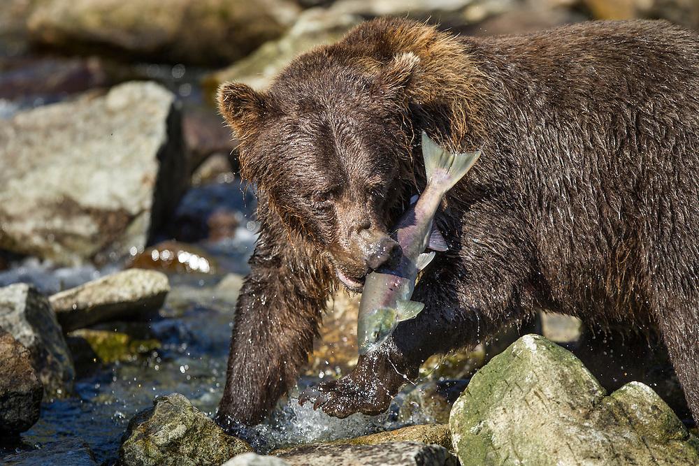 USA, Alaska, Katmai National Park, Coastal Brown Bear  (Ursus arctos) bites into salmon in spawning stream by Kuliak Bay