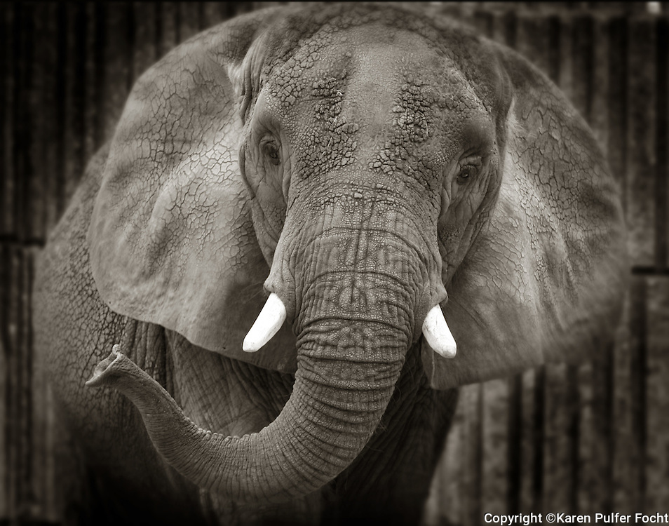 """The Memphis Zoo's elephant matriarch """"Tyranza,"""" or """"Ty"""" for short is the oldest African Elephant in North America according to the Memphis Zoo.  Ty has two ivory tusks."""