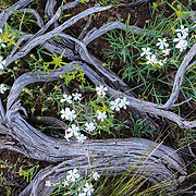 Rocky Mountain Phlox grows through the past life root and trunk structure of a silver sagebrush in Grand Teton National Park, Wyoming.