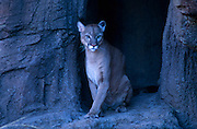 Mountain Lion (Felis concolor) quietly looks out from its cave, Arizona-Sonora Desert Museum, Tucson, Arizona...McCain Photography Job #02117.Images created April 4, 1994..Rights & Usage:.No rights granted. Subject photograph(s) are copyrighted by ©1994 Edward McCain/McCain Photography. All rights are reserved except those specifically granted by this invoice...McCain Photography.211 S 4th Avenue.Tucson, AZ 85701-2103.(520) 623-1998.mobile: (520) 990-0999.fax: (520) 623-1190.http://www.mccainphoto.com.edward@mccainphoto.com