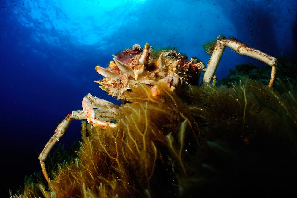 Spinous Spider Crab (Maja squinado) | Dreieckskrabbe, Gozo, Maltese Islands