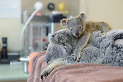 Wake up Mum. Are you feeling better?: Adorable moment baby koala hugs his mother as she undergoes emergency surgery after being hit by a car<br /> <br /> The touching moment a baby koala nestles up to his mother during her life-saving surgery after she was hit by a car has warmed hearts at Australia Zoo.<br /> The baby joey and his mother were hit by a car in Brisbane's west in Queensland on Sunday.<br /> While six-month-old Phantom escaped without injury, his mother Lizzy suffered a collapsed lung and underwent emergency surgery to have it drained.<br /> <br /> The pair were run down by a car on the Warrego Highway at Coominya<br /> <br /> Fortunately, neither of the animals broke any bones and 420-gram Phantom walked away with next to no injuries.<br /> Lizzy sustained a collapsed lung and underwent a procedure at the Australia Zoo Wildlife Hospital to have it drained.<br /> <br /> <br /> Her joey clung to her through theentiretyof the operation and has been pictured holding her chin with his tiny paw.<br /> Lizzy made it through the procedure and is currently on antibiotics.<br /> Baby Phantom has not left her side and has been pictured perched on her head while she rests in recovery.<br /> ©Ben Beaden/Exclusivepix Media