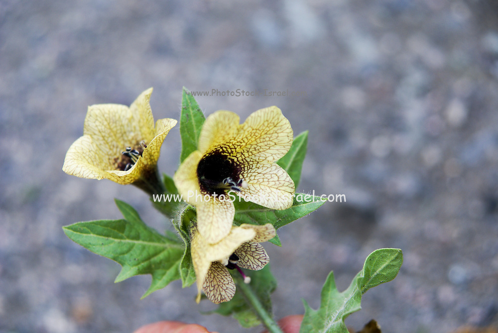 Henbane (Hyoscyamus niger), also known as stinking nightshade or black henbane, Photographed in Georgia