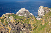 Northern Gannet bird colony, Morus bassanus, The Greing stacks, Hermaness, Unst, Shetland Islands, Scotland