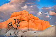 Joshua Tree and rock formations at sunset in Joshua Tree National Monument California USA