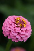 Zinnia elegans 'Liliput Rose' - elegant zinnia