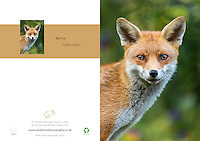 Red Fox Vulpus vulpus A5 Greeting Card with Peel and Seal White Envelope
