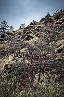 Rhododendron tree near the Annapurna Dhaulagiri trail.