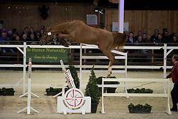 024 - Oh My Star van Strytem <br /> VRIJSPRINGEN<br /> Hengsten keuring BWP - Koningshooikt 2017<br /> © Dirk Caremans<br /> 27/12/2016