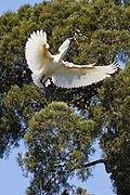 Royal Spoonbill, New Zealand