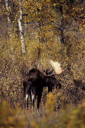 Moose, (Alces alces) Bull. Grand Teton National Park. Fall.  Wyoming.