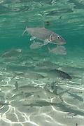 bonefish, Albula vulpes, Ambergris Caye, Belize, <br /> Central America ( Caribbean Sea )