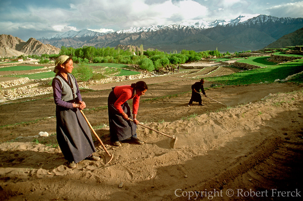INDIA, LADAKH, AGRICULTURE Women working in farm fields near Leh