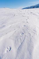 Vielfrassspuren im Schnee