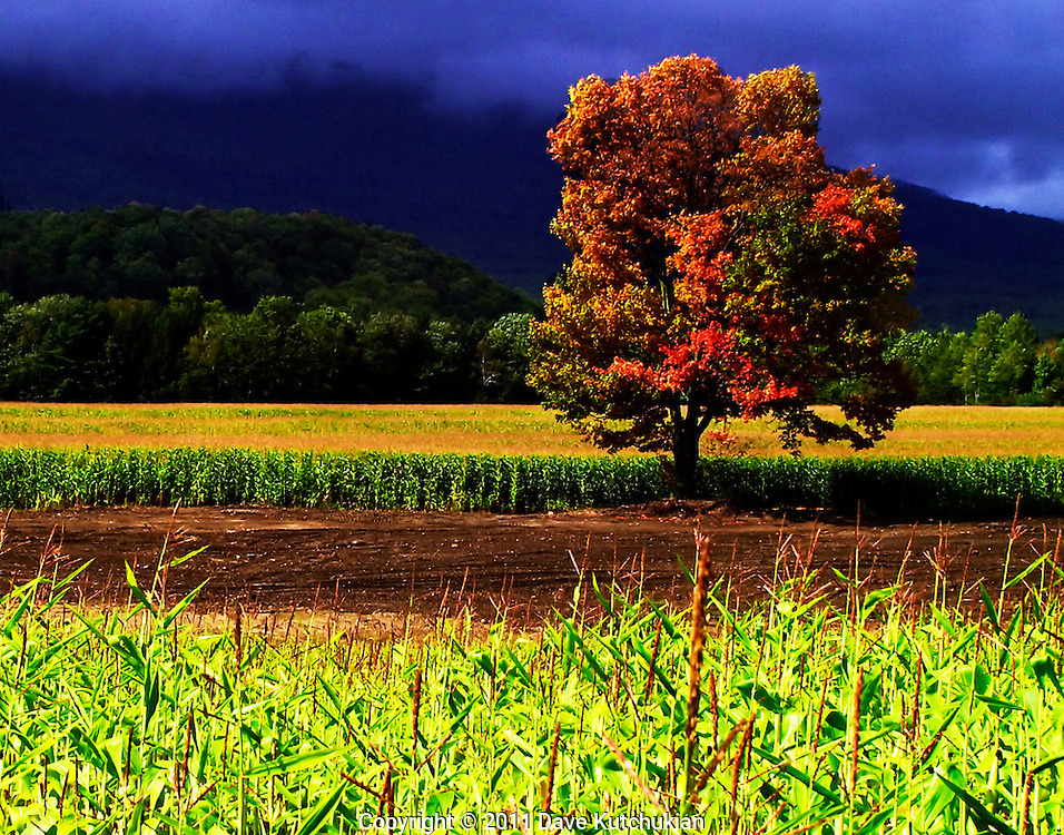 loneFall painted maple tree in middle of corn field,manchester, vt