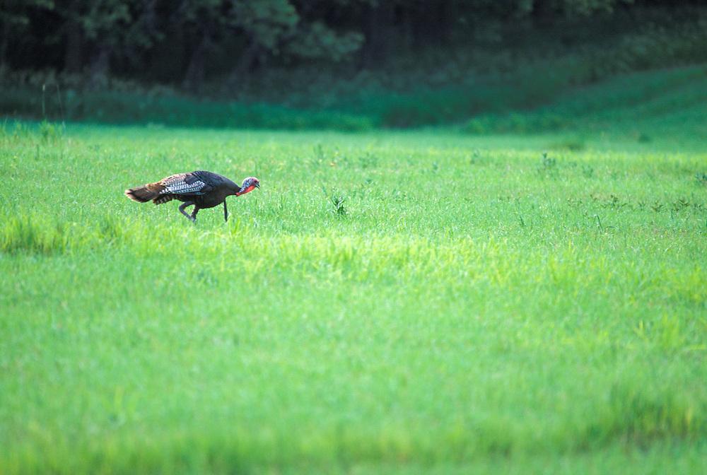 Kansas, USA - Wild Turkey on the Konza Prarie
