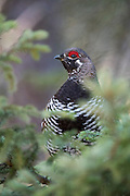Spruce Grouse, Falcipennis canadensis, male, Chippewa County, Michigan