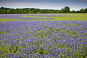 The state flower of texas is the bluebonnet.  Bluebonnets bloom in eastern Texas from mid-March to early April.