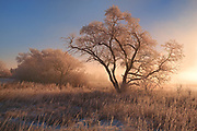 Hoarfrost on trees at sunrise , West of Regina, Saskatchewan, Canada