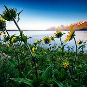 The sun rises over the Teton Range and Jackson Lake with wildflowers in the foreground.