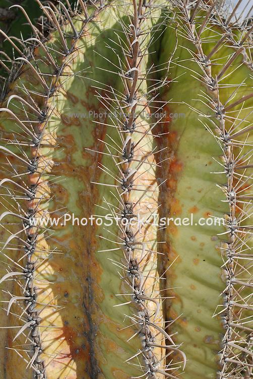 Ferocactus wislizeni, the Fishhook Barrel Cactus, also called Arizona Barrel Cactus, Candy Barrel Cactus, and Southwestern Barrel Cactus, is a cylindrical barrel-shaped cactus.