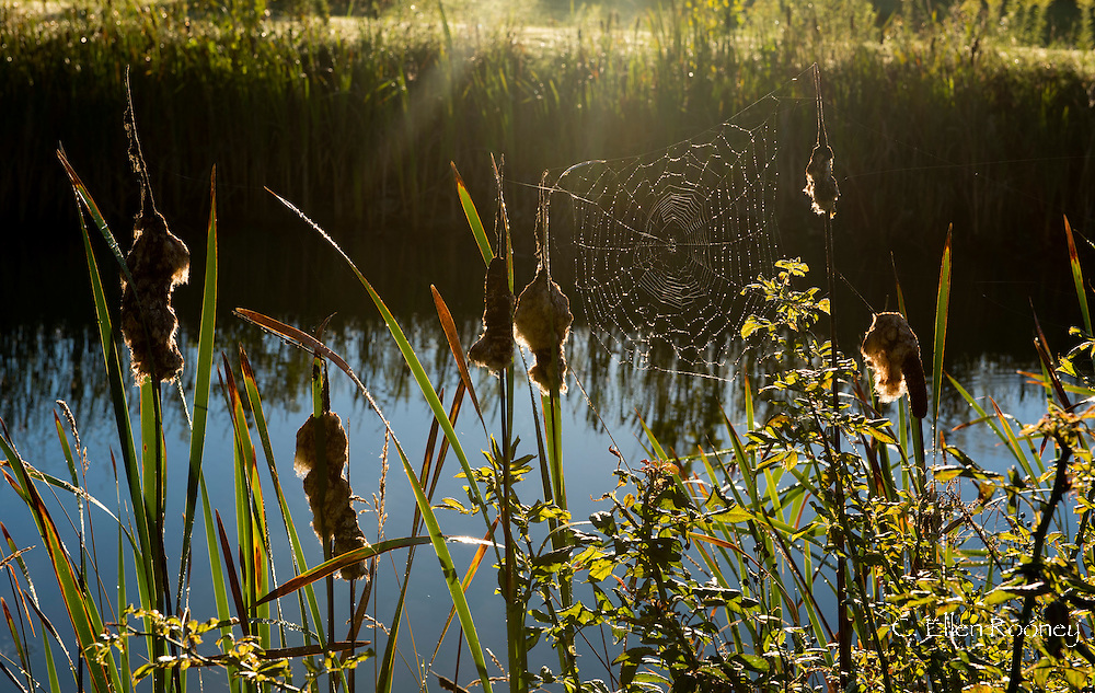 Early sun on a spider web and cattails next to a pond in a country garden in upstate New York, Westerlo, New York, U.S.A.