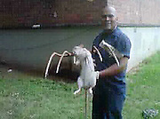 25/08/2011<br /> Housing worker kills monster, 3ft rat in New York project ... and says there are more<br /> <br /> <br /> A huge rat has been speared to death by a pitchfork at a sprawling New York housing project.<br /> Jose Rivera, a Housing Authority worker, was clearing a rat hole at the Marcy Houses in Brooklyn when three of the mutants popped out.<br /> He was only able to nab one. It appears to be almost three feet long, including the tail, is covered in white fur and looks well-fed.<br /> Mr Rivera, 48, said: 'I hit it one time and it was still moving.<br /> <br /> 'I hit it another time and that's when it died. I'm not scared of rats but I was scared of being bitten.'<br /> Naomi Colon, head of the Marcy Houses Tenant Association, said there have been sightings of the outsize rat for at least six years.<br /> She said: 'The residents have told me that they've seen it running around with other rats.<br /> 'She lived with them. She ran into the same hole they ran in.'<br /> Animal experts have identified the monster rodent as a Gambian pouched rat, which is a fairly common pet rat.<br /> They are nocturnal, can grow to three feet and weigh four pounds or more and live seven or eight years, the New York Daily News reports.<br /> Imports have been banned since 2003, when they were blamed for a monkeypox outbreak that sickened 100 people in the U.S.<br /> Dr Paul Calle, director of zoological health at the Wildlife Conservation Society, said the Marcy Houses specimen was probably an escaped or discarded pet who decided to join the regular rats.<br /> He said: 'They are a very social animal and live in big groups in the wild.<br /> 'Our Norway rats are the closest big rodents it could accompany.'<br /> He said they can be trained to sniff out landmines,adding that 'they're pretty remarkable animals.'<br /> Tenants fear that the Gambian rat has been breeding with the Norway rats and spawning a super-breed of rodents.<br /> But Mr Calle said the imported rat probably would not mate with local rats, and it couldn't reproduce if it did, because each is from a different genus.<br /> One Marcy Hou